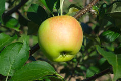 One yellow apple hanging in a tree Royalty Free Stock Photography