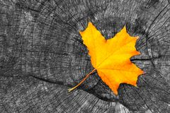 One yellow autumn fall maple leaf on gray wooden rustic background with copy space. Beautiful autumn background with colored. Maple leaf on old wooden board royalty free stock photos