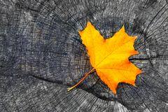One yellow autumn fall maple leaf on gray wooden rustic background with copy space. Beautiful autumn background with colored. Maple leaf on old wooden board royalty free stock photography