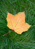 One yellow autumn maple leaf Royalty Free Stock Photography