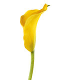 One yellow cala lily Stock Photo