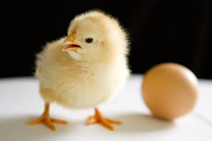 One yellow chick stands next to the egg  with open beak Stock Photography
