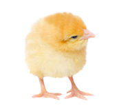 One yellow chicken Stock Image