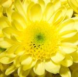 One yellow chrysanthemum Stock Photography