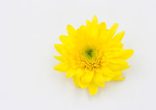 One yellow Chrysanthemum Flower Isolated Royalty Free Stock Image