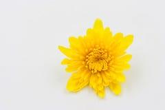 One yellow Chrysanthemum Flower on White Royalty Free Stock Photos