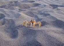 One yellow crab on the coast stock images