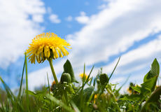 One yellow dandelion on background of blue sky with beautiful clouds. Stock Photo
