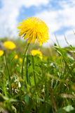 One yellow dandelion on cloudy sky background. Close-up one yellow dandelion on cloudy sky background Stock Photos