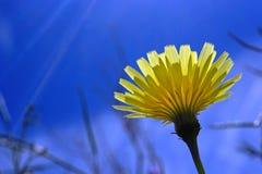 Yellow desert dandelion flower, Anza Borrego desert state park,. One yellow desert dandelion flower is in full bloom under the blue sky at Anza Borrego desert royalty free stock photo