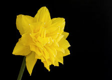 One yellow double daffodil on black Royalty Free Stock Images