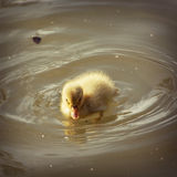 One yellow duckling. Yellow duckling in the water Stock Images