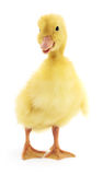 One yellow duckling Royalty Free Stock Photography