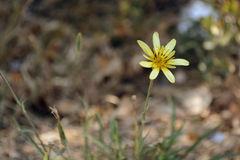 One yellow flower against the faded fallen-down foliage of trees Stock Photos
