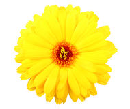 One yellow flower of calendula Stock Photo
