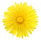 One yellow flower of dandelion. Isolated on white background. Close-up. Studio photography stock photo
