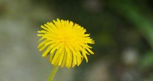 Flower yellow dandelion close-up. One yellow flower of dandelion  Close-up stock video