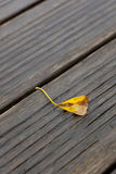 One yellow gingko leaf Royalty Free Stock Photos