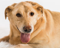 One yellow labrador stock images