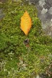 One yellow leaf on a bed of moss and lichens stock photo