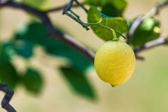 One yellow lemon on a tree. With blurred background royalty free stock images