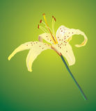 One yellow lily Stock Image