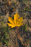 One yellow maple leaf Royalty Free Stock Image