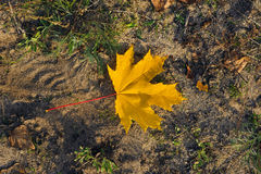 One yellow maple leaf Royalty Free Stock Photography