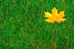 One yellow maple leaf on green grass. Horizontal frame Stock Photos