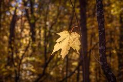 One yellow maple leaf still hanging on Royalty Free Stock Photo