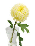 One yellow mum Royalty Free Stock Images