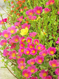One Yellow 9O'clock flower in the Bunch of pink flower. Diversity in the integrity Stock Photography