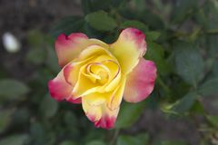 One yellow with pink edges rose `Pullman Orient Express`. One hybrid tea yellow with pink edges rose `Pullman Orient Express Royalty Free Stock Photos