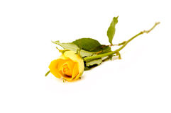 One yellow rose. Yellow rose on the white background royalty free stock image