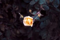 One yellow rose Royalty Free Stock Photo