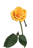 One yellow rose on a white background Royalty Free Stock Photography