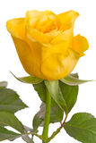 One yellow rose on white Royalty Free Stock Photography