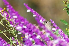 One yellow rumped warbler perched in Mexican Sage flowers. One male Yellow-rumped Warbler perched in purple Mexican Sage flowers looking through flowers to stock photography