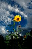 One Yellow Sunflower Blue Sky and Clouds in Background. One yellow sunflower with blue sky and clounds in the background Royalty Free Stock Photo