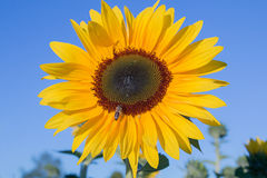 One yellow sunflower and honey bee Stock Photography