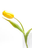 One yellow tulip Stock Photo
