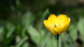 One yellow tulip in  breeze. One yellow tulip in the breeze stock video footage
