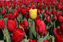 One yellow tulip in a field of bright red tulips Stock Photos