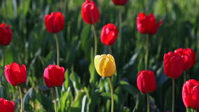 One yellow tulip flower in the midst of a lot of red flowers.  stock video footage
