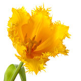 One yellow tulip stock photography