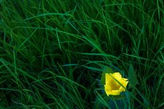One yellow tulip among green grass. top view royalty free stock image
