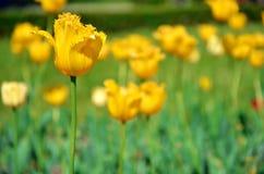 One yellow tulip left Stock Photo