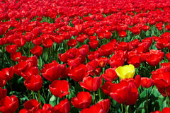 One yellow tulip among red ones Stock Photo