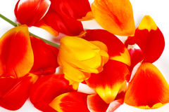 One yellow tulip on red tulip petals Stock Photos