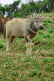One yellow water buffalo Stock Images